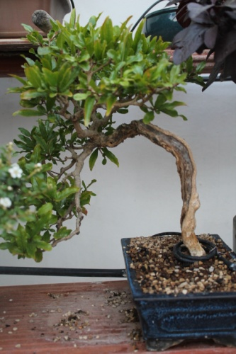 Bonsai 13837 - vicente solbes