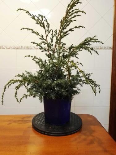 Bonsai Plantón Juniperus rigida - Enero 2018 - Antonio Sánchez