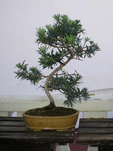 Bonsai Podocarpo - nuno