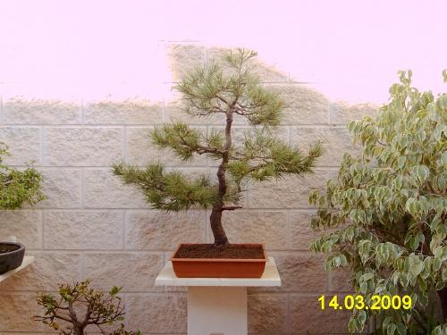 Bonsai pino alepensis - aviguer