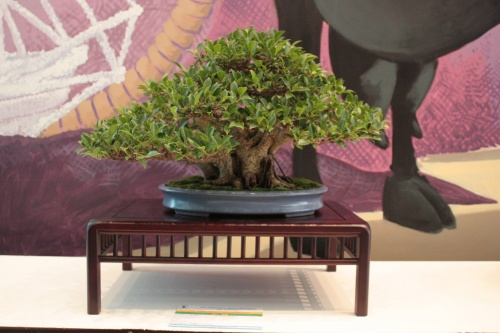 Bonsai Ficus Retusa - Jaume Canals - 7 Jornadas Mediterraneas de Bonsai - torrevejense