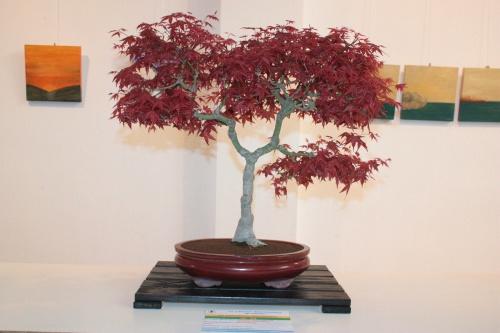 Bonsai Bonsai Acer Palmatum - Arce Rojo - torrevejense
