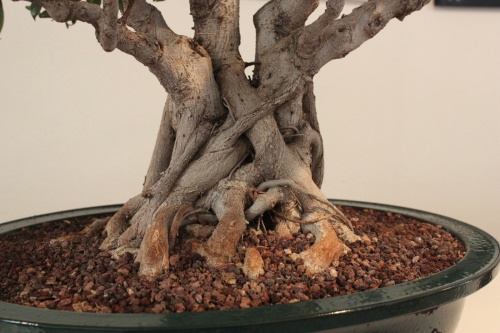Bonsai Raices de Bonsai Ficus Retusa - torrevejense