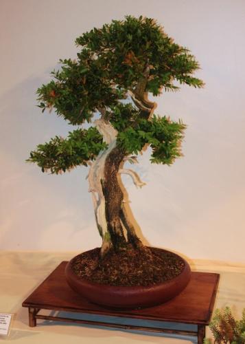 Bonsai Buxus Sempervirens - Juan Ortega - CBALICANTE