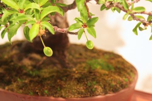 Bonsai Otra Foto en la que se ven claramente los Frutos de este Bonsai - CBALICANTE