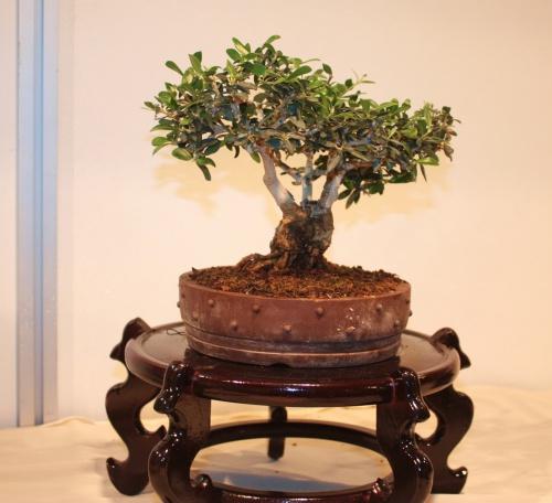 Bonsai Olea Europaea - Juan Campo - CBALICANTE