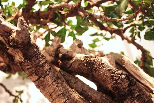 Bonsai Detalles de la madera del Algarrobo Bonsai - CBALICANTE