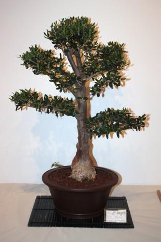Bonsai Olivera Borda - Olea Europaea - CBALICANTE