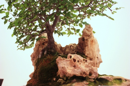 Bonsai Olmo sobre roca - Miguel March - CBALICANTE