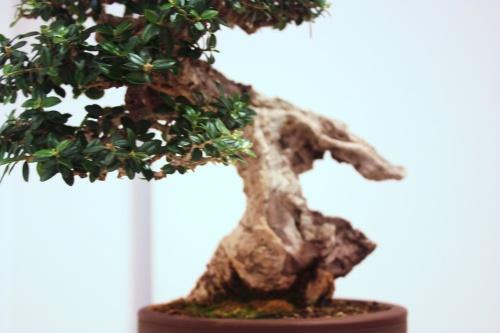 Bonsai Olivera - Jose Vte. Torregrosa - CBALICANTE