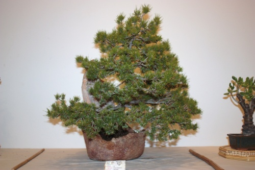 Bonsai Pinus Halapensis - Juan Saez - CBALICANTE