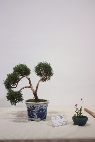 Bonsai Rosmarinus Officinalis - CBALICANTE