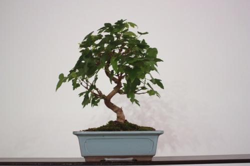 Bonsai Acer Buergerianum - Juan Campo - CBALICANTE