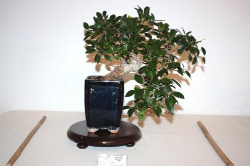 Bonsai Ficus Microcarpa - Emilio Garcia - CBALICANTE