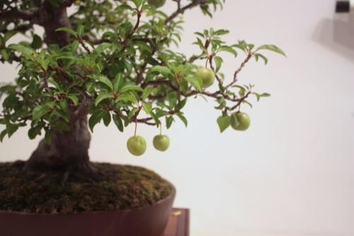 Bonsai Prunus Mahaleb - CBALICANTE