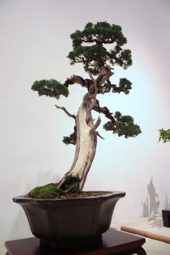 Bonsai Junipero Chino de Fernando Gambin - CBALICANTE