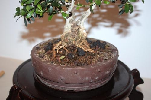 Bonsai Nebari Acebuche - CBALICANTE