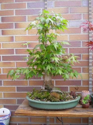 Bonsai Arce palmatum. - Sherpa