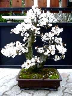 Bonsai 2485 - Faustin
