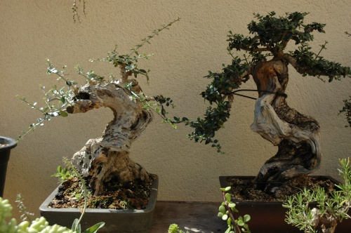 Bonsai 2497 - VICENTE RODRIGUEZ