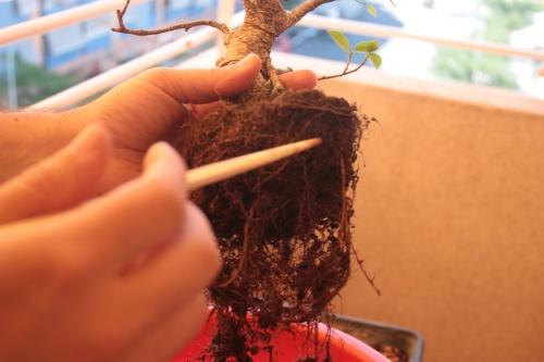 Bonsai uso del palillo para retirar tierra miguel - Tierra para bonsais ...