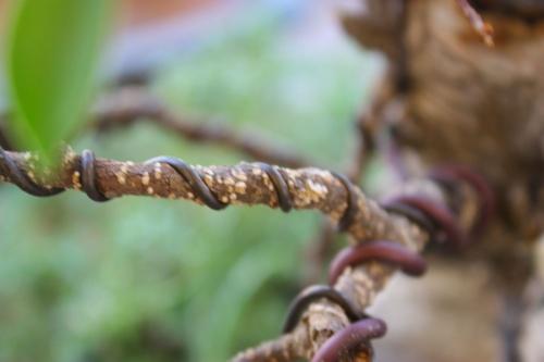 Bonsai Rama alambrada y alambre clavado en la rama - Miguel