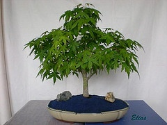 Arce palmatum-A