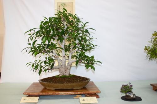 Bonsai Ficus Retusa de Javier Miró Verdú - Assoc. Bonsai Cocentaina