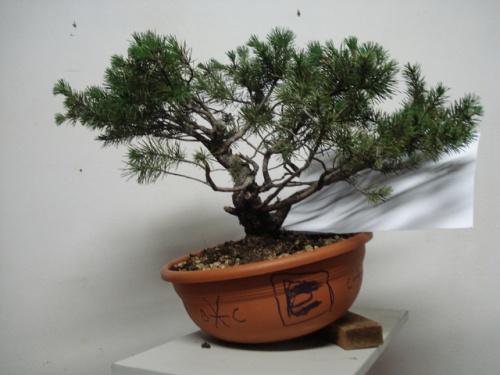 Bonsai Pinus Sylvestris - Rodrigo Sousa