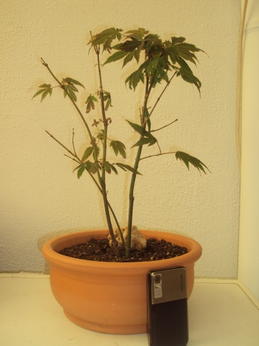 Bonsai ARCE - dani53
