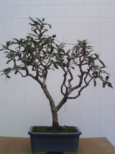 Bonsai olivo - javel