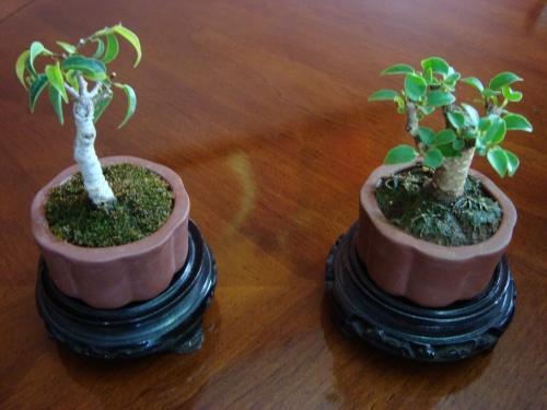 Bonsai Bonsai Shito Ficus kiki Ficus Nitida - Luis
