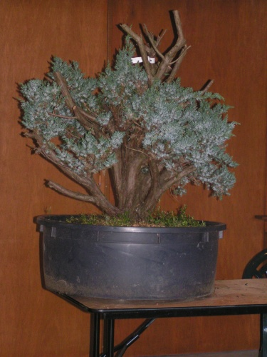 Bonsai juniperus squamata 2006 - machiel van den broek