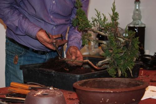 Bonsai Ya falta muy poco para acabar de limpiar el tronco - Assoc. Bonsai Muro