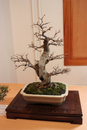 Bonsai Punica Granatum - Granado - Bonsai Novelda - Assoc. Bonsai Muro