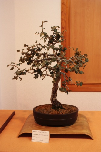 Bonsai Quercus Humilis del Club Bonsai Novelda - Assoc. Bonsai Muro