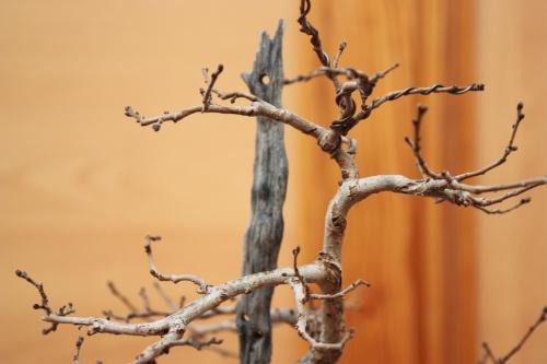 Bonsai Fijaros en la madera de detras - Assoc. Bonsai Muro
