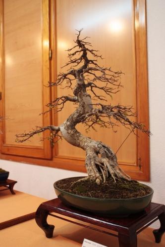 Bonsai Visto desde este angulo se puede ver las raices subiendo - Assoc. Bonsai Muro