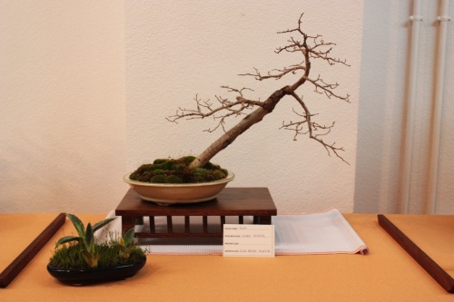 Bonsai Ulmus Minor del Club Bonsai Villena - Assoc. Bonsai Muro
