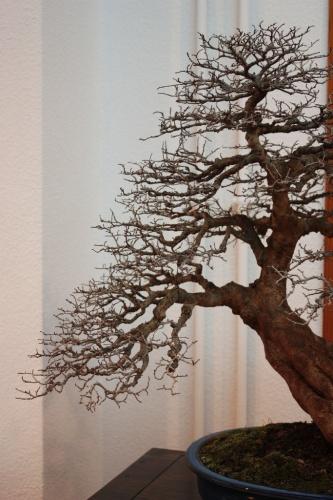 Bonsai Estructura de las ramas del olmo - Villena - Assoc. Bonsai Muro
