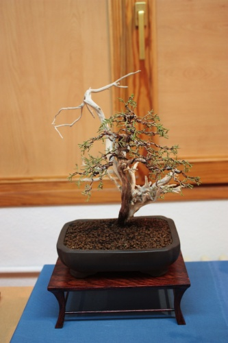 Bonsai Juniperus Phoenicea - Club bonsai Villena en Muro 2010 - Assoc. Bonsai Muro