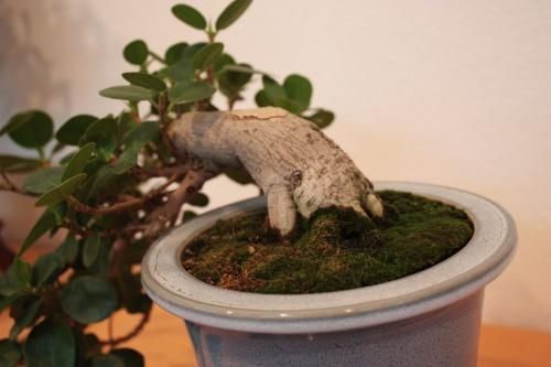 Bonsai Nebari y caida del bonsai - Assoc. Bonsai Muro