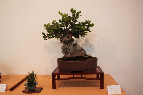 Bonsai Garrofer - Ceratonia Siliquea - Jose Terol - Assoc. Bonsai Muro