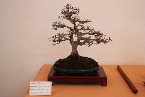 Bonsai Olmo Chino - Ulmus Parvifolia - Victor Martinez - Assoc. Bonsai Muro