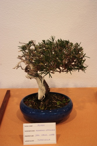Bonsai Romero - Juan Carlos - Club Bonsai Torrevieja - Assoc. Bonsai Muro