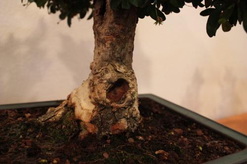 Bonsai Orificio en el tronco - Assoc. Bonsai Muro