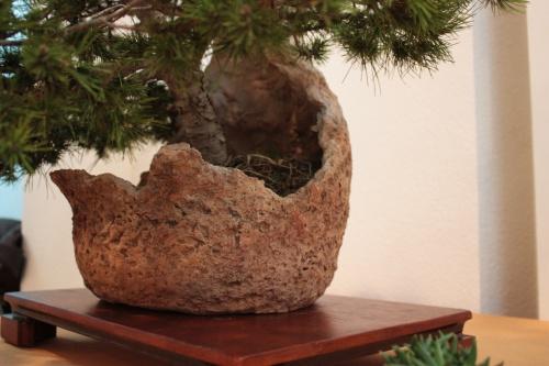 Bonsai Maceta en la que esta plantado - Assoc. Bonsai Muro