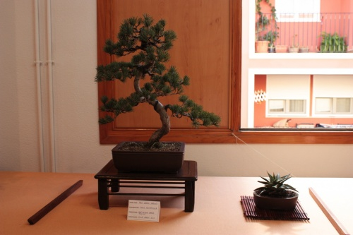 Bonsai Pino Blanco Japones - Club Bonsai Elx - Assoc. Bonsai Muro