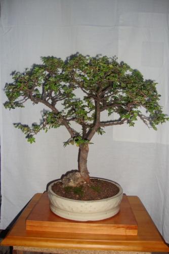 Bonsai ulmus parvifolia2 - javel