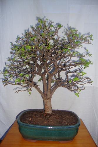 Bonsai ulmus parvifolia-1 - javel